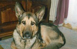 Flash, chien Berger allemand