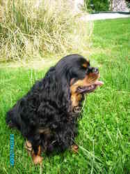 Abysse Love, chien Cavalier King Charles Spaniel