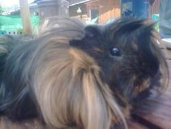 Miffy, rongeur Cochon d'Inde
