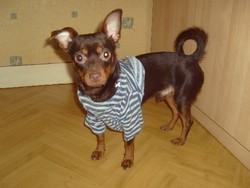 Douglas, chien Chihuahua