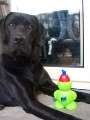 Enos, chien Labrador Retriever