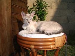 Virgile, chat Siamois