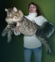 Osaka Honky Fox, chat Maine Coon