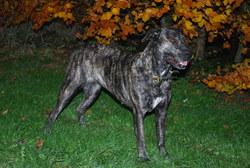 Braga, chien Cão fila de São Miguel