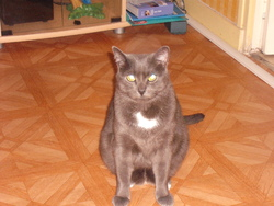 Symba, chat Chartreux