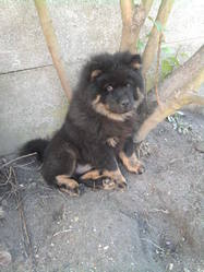 Nounours, chien Chow-Chow