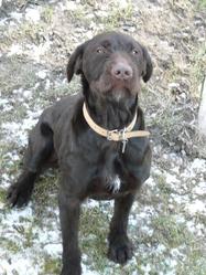 Nesquick, chien Barbu tchèque