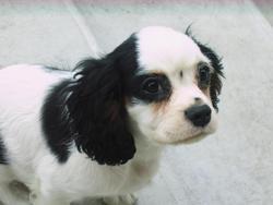 Figaro, chien Cavalier King Charles Spaniel