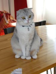 Pimousse, chat Scottish Fold