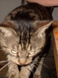 Diesel, chat Gouttière