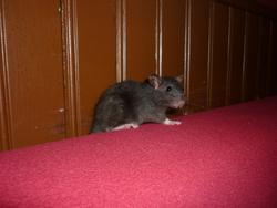 Typhus, rongeur Rat