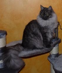 Rangi Ro'o, chat Sibérien