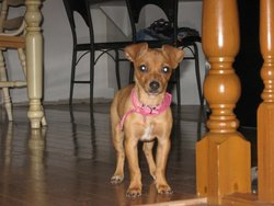 Rosabelle, chien Chihuahua