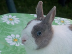Chowpy, rongeur Lapin