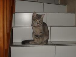 Satine, chat Européen