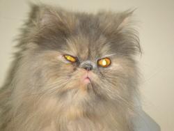 Farouche Du Manoir Du Comté, chat Persan