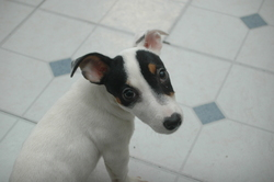 Akilah, chien Jack Russell Terrier