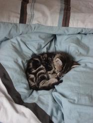 Titibou, chat Européen