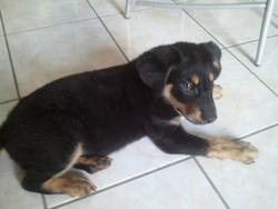 Titou, chien Beauceron