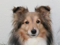 Pamela, chien Berger des Shetland