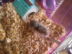 Yoyo, rongeur Hamster