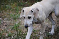 Ghazi, chien Sloughi