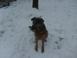 Chipie, chien Beauceron