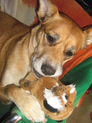 Gabana, chien Berger belge