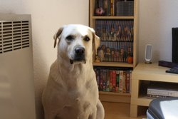 Sanka, chien Labrador Retriever