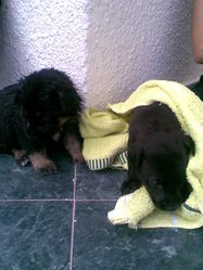 Stella, chien Labrador Retriever