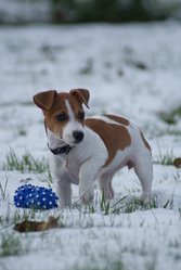 Feeling, chien Jack Russell Terrier