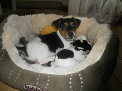 Pato, chien Jack Russell Terrier