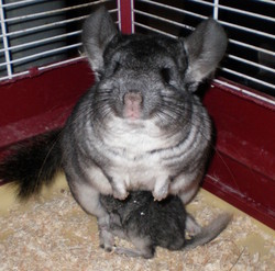 Laia, rongeur Chinchilla