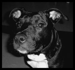 Wally, chien American Staffordshire Terrier