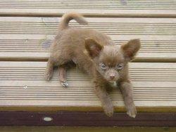Choco, chien Chihuahua