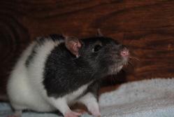 Bobby, rongeur Rat