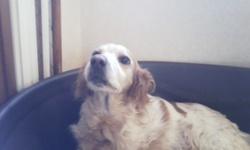 Nunkie, chien Épagneul breton
