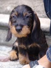 Leo , chien Teckel