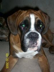 Erios, chien Boxer