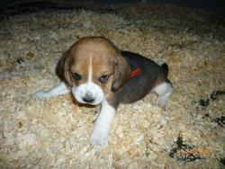 Easy, chien Beagle