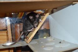 Keyshi, rongeur Rat