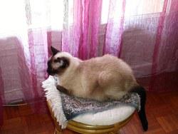 Samantha, chat Siamois