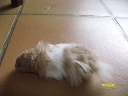 Moustache, rongeur Hamster