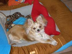 Moustik, chien Chihuahua
