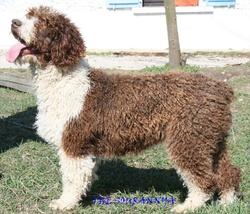 Rosi, chien Chien d'eau espagnol