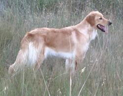A'Maga, chien Hovawart