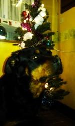 A'tina, chien Rottweiler