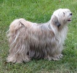 A Yang Chen Mo, chien Terrier tibétain