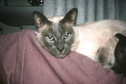 Jingo, chat Siamois