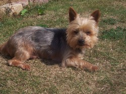 Omaley, chien Yorkshire Terrier